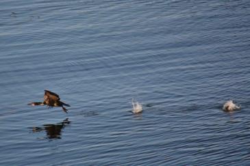 Cormorant off Monterey Bay