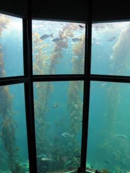 Monterey Bay Aquarium - kelp forest exhibit
