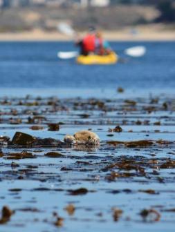 Sea Otters in Monterey Bay - Kayaking