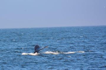 whale flukes in Monterey Bay 4
