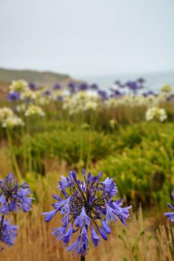 Montara Beach allium wildflowers (2)