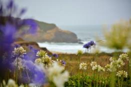 Montara Beach allium wildflowers (6)