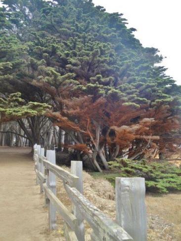 cypress trees Fitzgerald Marine Reserve