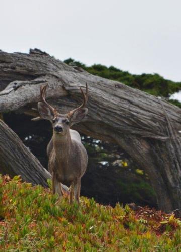 deer in carmel 2