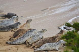 seals at Fitzgerald Marine Reserve (2)