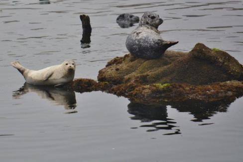 Harbor seals - Monterey Bay