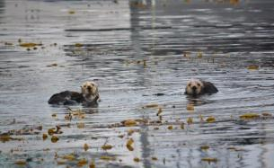 Sea Otters - Monterey Bay Marina