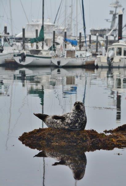 Seal - Monterey Bay Marina
