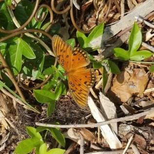 Gulf Fritillary Butterfly on its Larval Host Plant, native Corkystem Passionvine