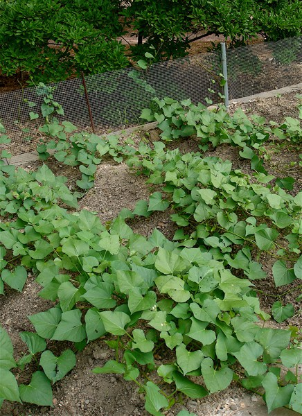 Sweet potato vines.JPG copy
