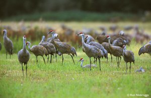 I didn't have my camera, so these are Sandhill Cranes off the internet to give you an idea what a crows of cranes looks like.