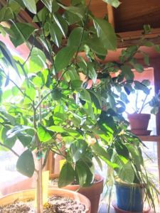 Lemon Tree in Sun Porch WIndow