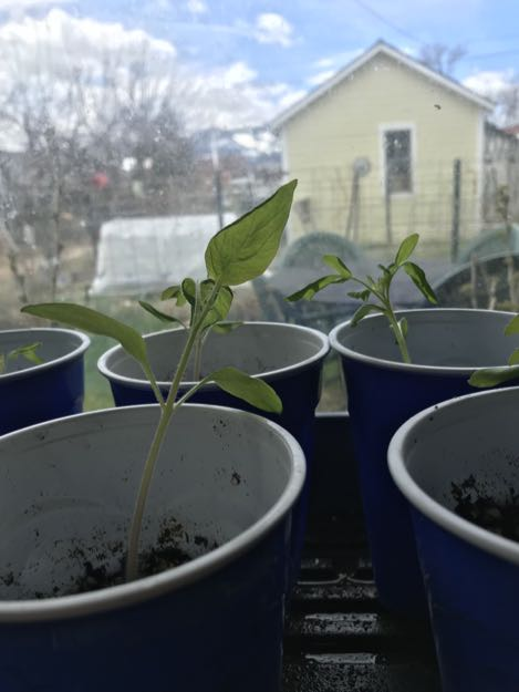 tomato seedlings in plastic cups with garden and garden shed in background