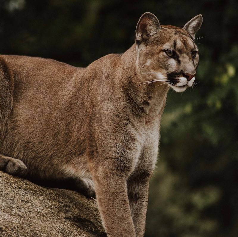 Understanding The Snoqualmie Valley S Cat Of Many Names The Cougar Living Snoqualmie