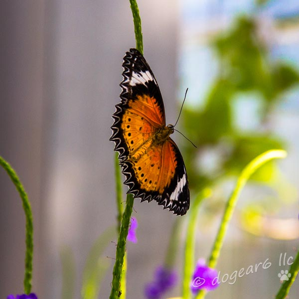 Plain Tiger Butterfly at Lewis Ginter Botanical Gardens
