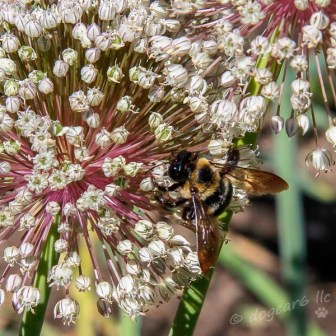 carpenter bee on flowering onion