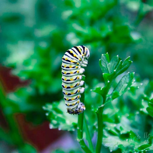 caterpillar from eastern tiger swallowtail butterfly