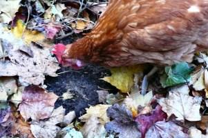 Chicken scratching.