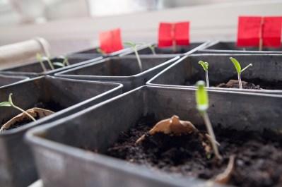 Tomato seedlings.