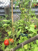 Tomatoes growing in garden.