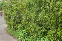 Hedge at the corner