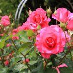 バラによく発生する3種類の病気【うどんこ病などの原因と対策】