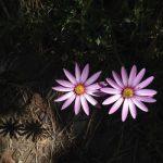 半日陰で育つ【草丈の高い】ガーデニング草花 14選