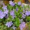 ビンカ ミノールの育て方【庭のグランドカバー草花】