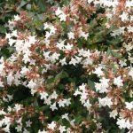 アベリアの育て方と花言葉【半日陰に植える常緑低木のガーデニング】