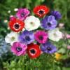 アネモネの育て方と品種や花言葉【春に咲く秋植え球根ガーデニング草花】