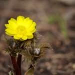 福寿草の花言葉と育て方【初春の縁起の良い花】