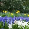 ヒヤシンスの育て方と花言葉【春に咲く秋植え球根ガーデニング草花】