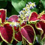コリウスの育て方と花言葉【夏~秋の美しい葉を楽しむガーデニング草花】