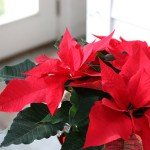 ポインセチアの育て方と花言葉【クリスマスカラーを楽しむ草花】