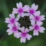 バーベナの育て方と花言葉【春~秋に咲く花】