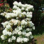 西洋シャクナゲの育て方と花言葉【半日陰に植える常緑低木のガーデニング】