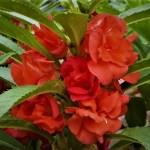 ホウセンカの育て方と花言葉【夏に咲くガーデニング草花】