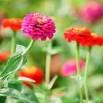 百日草の育て方と花言葉【夏に咲くガーデニング草花】