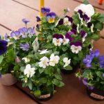 パンジー&ビオラの育て方や寄せ植え・花言葉を紹介!