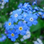 ワスレナグサの育て方と花言葉【春に咲くガーデニング草花】