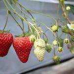 いちごの栄養で家族を守る!【効果効能や食べ方・品種を紹介】