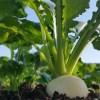 カブ栽培の肥料について(野菜づくりの施肥量と元肥・追肥の与え方)