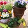 冬から春に咲く一年草ガーデニング花14選|コンテナや鉢植えにおすすめ!