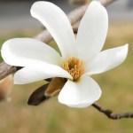 辛夷(コブシ)の育て方|庭木におすすめの春を告げる樹木