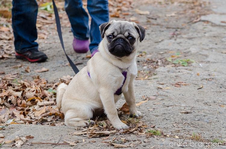 Zoey Pug Puppy