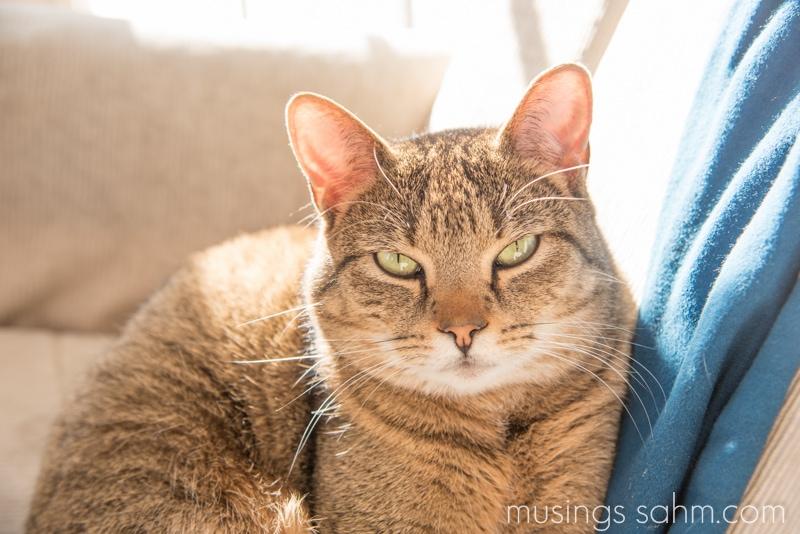Josie the cat