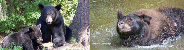 bearpics-Cory300px