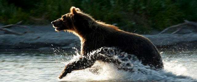 Running Bear in Water