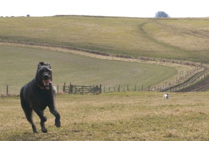 labradoodle, jack russell, wiltshire walk