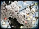 Cherry Blossom 3 - Korea